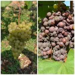 As uvas sendo gradualmente atacadas pela botritis.