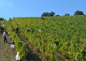 A colheita no Douro.