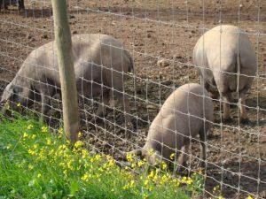 E dá um sabor delicioso ao porco preto ibérico.